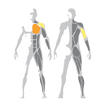 Precvičované svaly na Incline Chest Press