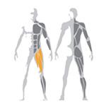 Ukážka precvičovaných svalov na stroji Leg Extension