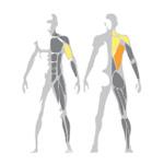 Ukážka posilňovaných svalov na stroji Row