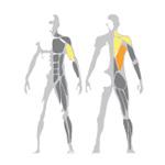 Ukážka využitých svalov na stroji Low Row