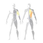 Ukážka posilňovaných svalov na stroji Pulldown