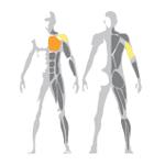 Hrudne svaly, triceps, deltové svaly